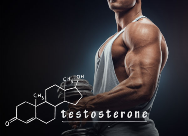 testosterone and muscle size