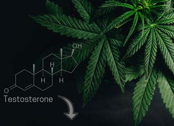 cannabis lowers testosterone