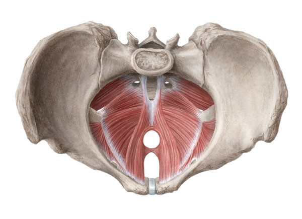 perianal muscle